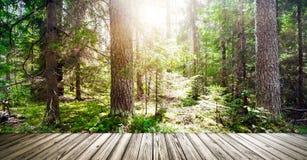 美丽的狂放的森林早晨太阳 免版税库存图片