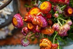 美丽的狂放的秸杆花或金黄永恒装饰在桔子、桃红色和紫色树荫下与明亮的黄色瓣,绿色 免版税图库摄影