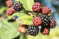 美丽的狂放的黑莓 库存图片