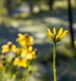 美丽的狂放的黄色开花的花 图库摄影
