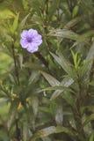 美丽的狂放的petunius花在早晨 库存图片