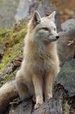 美丽的狐狸 免版税库存照片