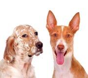 美丽的狗二 免版税库存照片