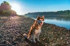 美丽的狗坐光芒落日的岸晚上河 在一条平静的河的背景的逗人喜爱的红色西伯利亚爱斯基摩人 库存照片