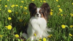 美丽的狗坐绿色草坪用蒲公英和吃草储蓄英尺长度录影的Papillon 股票视频