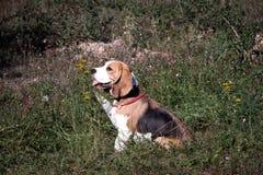 美丽的狗小狗小猎犬 免版税库存图片