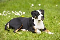 美丽的狗年轻人 免版税库存图片