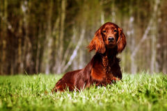 美丽的狗爱尔兰人的特定装置 免版税库存照片
