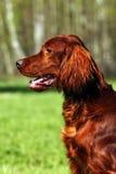 美丽的狗爱尔兰人的特定装置 免版税库存图片