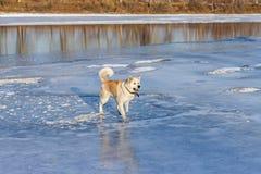 美丽的狗秋田Inu在冰的河站立 免版税图库摄影