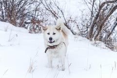 美丽的狗秋田Inu在雪的冬天 库存照片