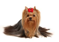 美丽的狗约克夏 库存图片