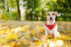 美丽的狗走的金黄秋天公园 免版税库存图片