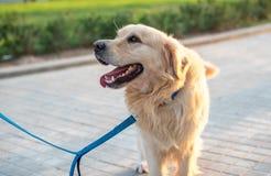 美丽的狗金毛猎犬 免版税库存图片