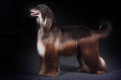 美丽的狗阿富汗猎犬 免版税图库摄影