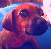 美丽的狗1 免版税库存图片