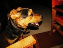 美丽的狗 免版税图库摄影