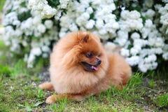 美丽的狗 Pomeranian狗近开花的白色灌木 Pomeranian狗在公园 可爱的狗 愉快的狗 库存照片