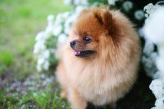 美丽的狗 Pomeranian狗近开花的白色灌木 Pomeranian狗在公园 可爱的狗 愉快的狗 免版税库存照片
