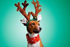 美丽的狗wering的圣诞节服装 免版税库存图片