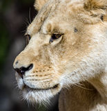 美丽的狮子在徒步旅行队公园 免版税库存照片