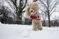 美丽的狮子狗使用在雪的,中央公园纽约 免版税库存照片