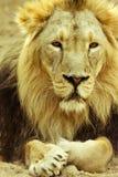 美丽的狮子 免版税库存照片