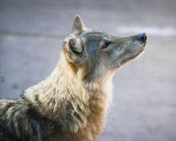 美丽的狼画象 免版税库存照片