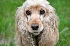 美丽的猎犬 免版税库存照片
