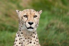 美丽的猎豹顶头射击纵向  免版税库存照片