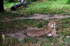 美丽的猎豹,躺下在绿草和看照相机的猎豹属jubatus 警惕gepard特写镜头 免版税库存照片