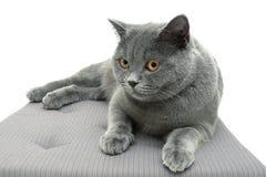 美丽的猫助长苏格兰平直的(年龄11,0个月)说谎的o 免版税库存照片