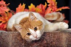 美丽的猫和秋天叶子 免版税库存照片