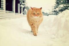 美丽的猫在冬天 免版税库存照片
