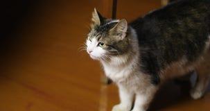 美丽的猫在家是 股票视频