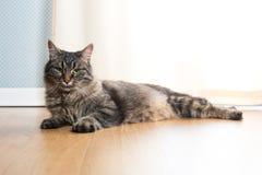 美丽的猫在家 免版税图库摄影