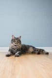 美丽的猫在家 免版税库存图片
