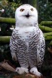 美丽的猫头鹰雪 图库摄影