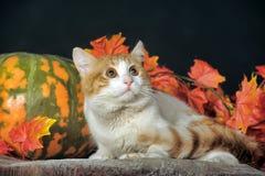 美丽的猫用南瓜和秋天叶子 免版税库存照片