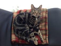 美丽的猫年轻人 免版税库存照片