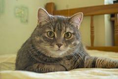 美丽的猫说谎并且看照相机 图库摄影