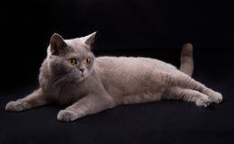 美丽的猫说谎 免版税图库摄影