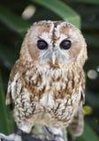 美丽的猫头鹰坐分支 免版税库存图片