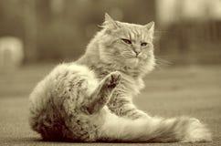 美丽的猫 库存照片