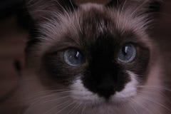 美丽的猫 图库摄影