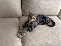 美丽的猫 免版税库存图片