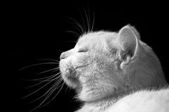 美丽的猫 库存图片