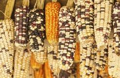 美丽的玉米 库存照片