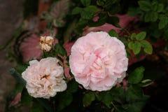 美丽的玫瑰丛在庭院,玫瑰里为情人节 免版税库存图片