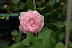 美丽的玫瑰丛在庭院,玫瑰里为情人节 免版税图库摄影